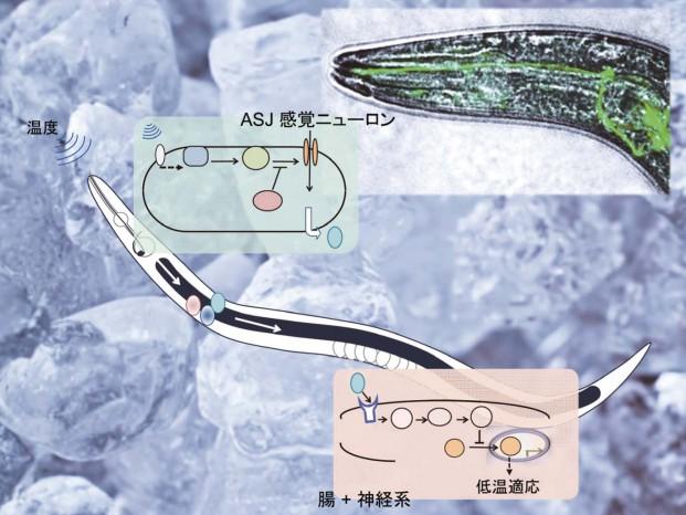 線虫 C. elegans の低温適応の分子機構
